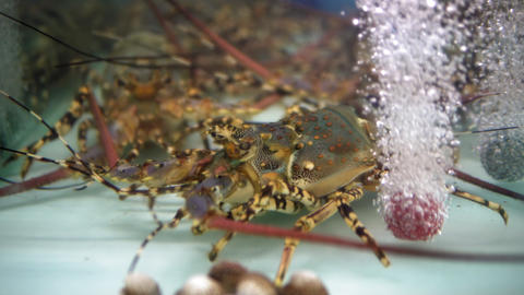 lobsters in the aquarium on the night market of food, seafood in a restaurant Live Action
