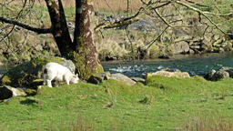 Cute little lamb dwelling close to the river Footage