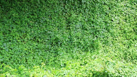 Overgrown wild vine fully covers building wall Stock Video Footage