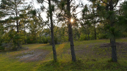 North Carolina Pine Trees Sunset Footage
