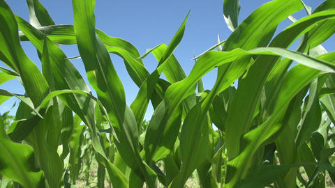 Young corn plants blowing in the wind 영상물