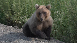 Biggest Kamchatka brown bear sits on roadside of gravel country road Footage