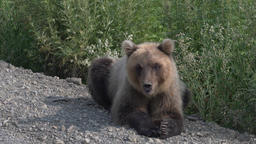 Hungry Kamchatka brown bear lying on roadside of gravel country road Footage