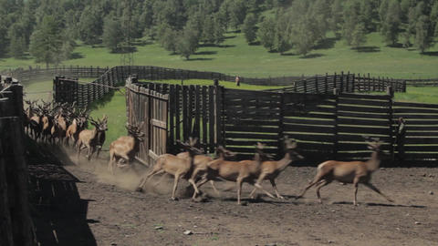 Maral. Fauna of the Altai mountains. Deer in nature. Deer in the nature of Altai Live Action