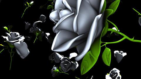 Falling White Roses On Black Background Animation