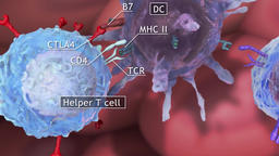 helper T cell, cytotoxic T cell Footage