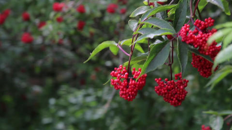 Large Bush of medicinal red forest viburnum HD Footage