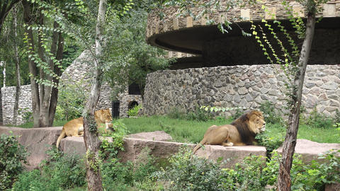 Lions Animals Are Resting Footage