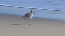 Seagull Finds Fish on Beach and Eats Footage