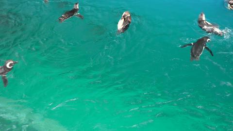 Penguins swim Live Action
