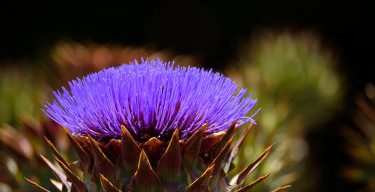 Isolated flower of wild artichoke Photo