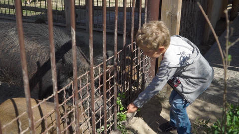 Boy is feeding wild boar at the zoo Live Action