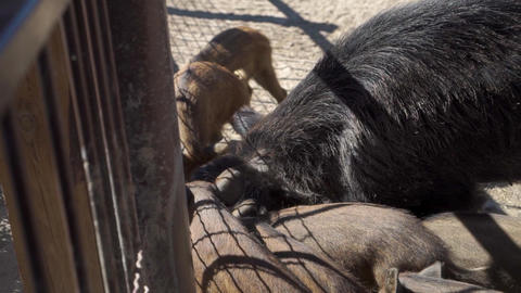 Wild boar with small pigs are eating at the zoo Live Action