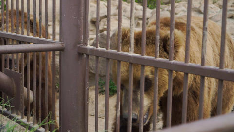 Two bears are at the zoo Footage