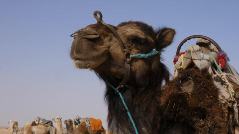 Head of brown camel in wild desert close up. Muzzle of camel in Sahara desert Live Action