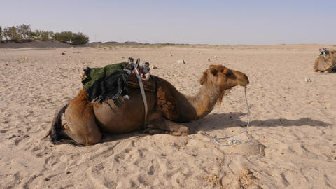 Dromedary camel lying on sand in desert. Herd of bedouin camel in Sahara desert Footage