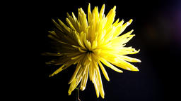 Time lapse of a Yellow flower dying in time lapse video. Showing the stages of a Footage