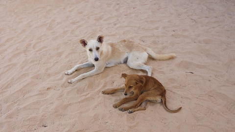Two dogs lying on sand. Mongrel dog scratches his foot while biting fleas Footage