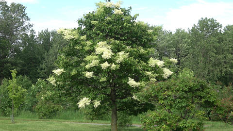 Tree with white flowers against blue sky. Wide view Footage