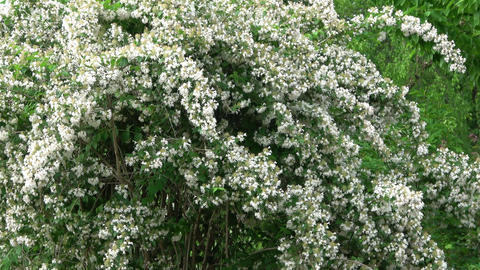 Tree with white flowers. Close view Footage