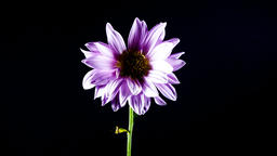 Time Lapse of a Purple Daisy wilting isolated on black background. Flower dying 영상물