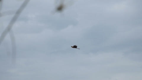 Bird of prey flying against cloudy sky Footage