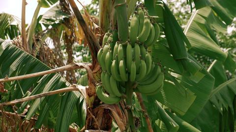 Banana tree with green bananas Live Action