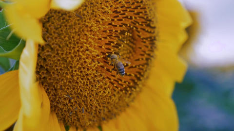 Bee pollenizing the sun flower close up in slow motion Footage
