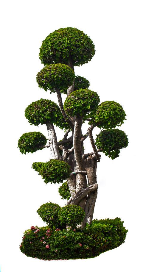 Ornamental tree for home gardening Fotografía
