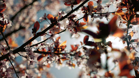 Pink blooming tree full of flowers in the spring Footage