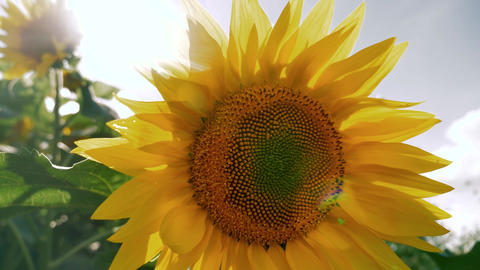 Sunflower with sun shining in the background Live Action