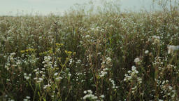 White wildflower blooms in field Live Action