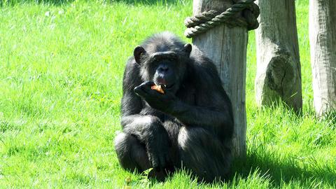 A chimpanzee (Pan Troglodytes) eating a vegetable. Portrait of the chimpanzee GIF