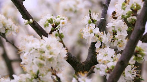 Blossoms and bee Footage
