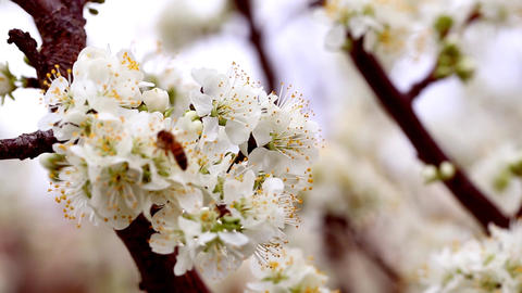 Blossoms and busy bee Footage