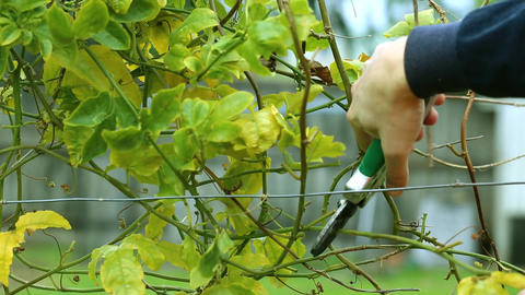 Pruning a vine in the garden Footage