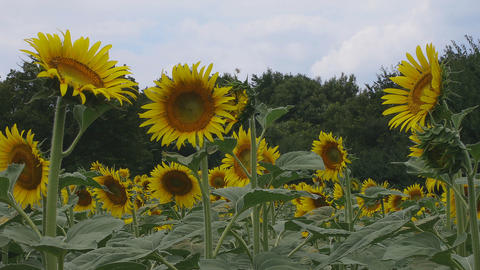 Sunflowers behind forest in the park at Tachikawa middle shot deep focus ビデオ