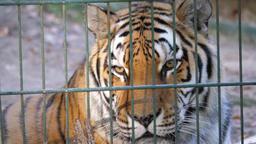 The Siberian tiger behind bars (Panthera tigris altaica) Stock Video Footage