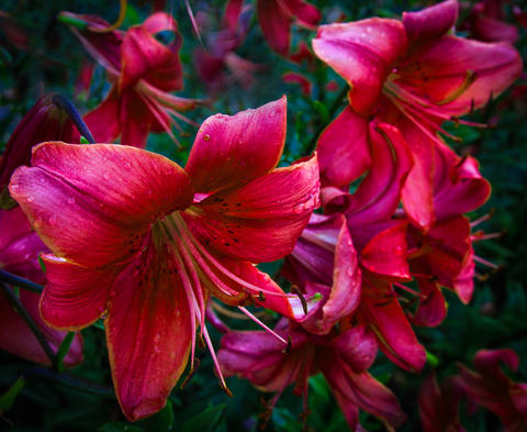 Blossoming red lilies on a warm summer evening Photo