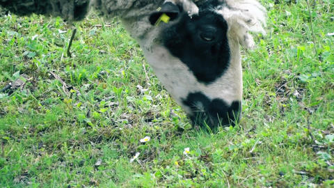 Sheep Grazing Grass Footage