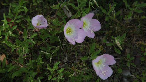 Pink Primrose flowers blowing in the wind Live Action