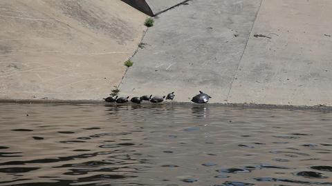 Several Turtles on a concrete shoreline Live Action