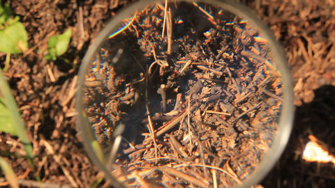 Watch ants through a magnifier Live Action