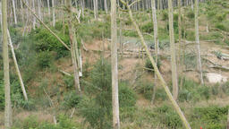 Dead trees in a forest. Forest destroyed by cormorants excrements Footage