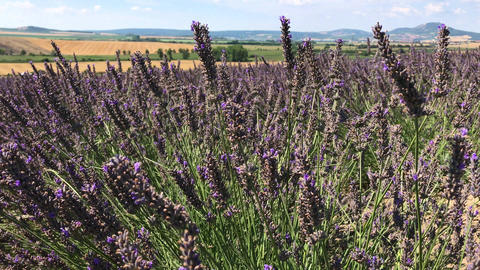 Lavender flowers on the field with dry fields in background Live Action