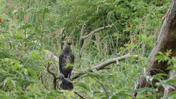 Young cormorant awaiting death from starvation while sitting on a branch Live Action