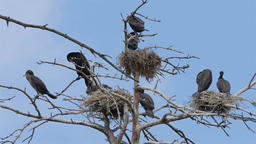 The great black cormorants nests on a tree Live Action