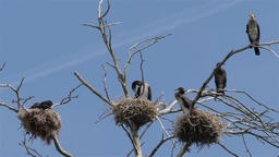 The grate black cormorants nests on a dead tree Live Action