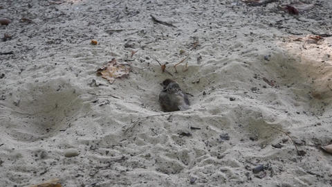 Sparrow bathes in dry sand close up GIF