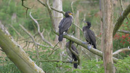 Three adolescent cormorants are fighting on a branch Live Action
